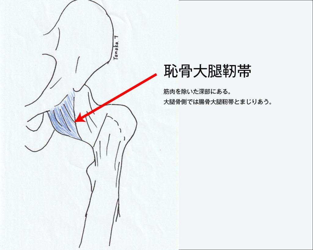 恥骨大腿靭帯図解