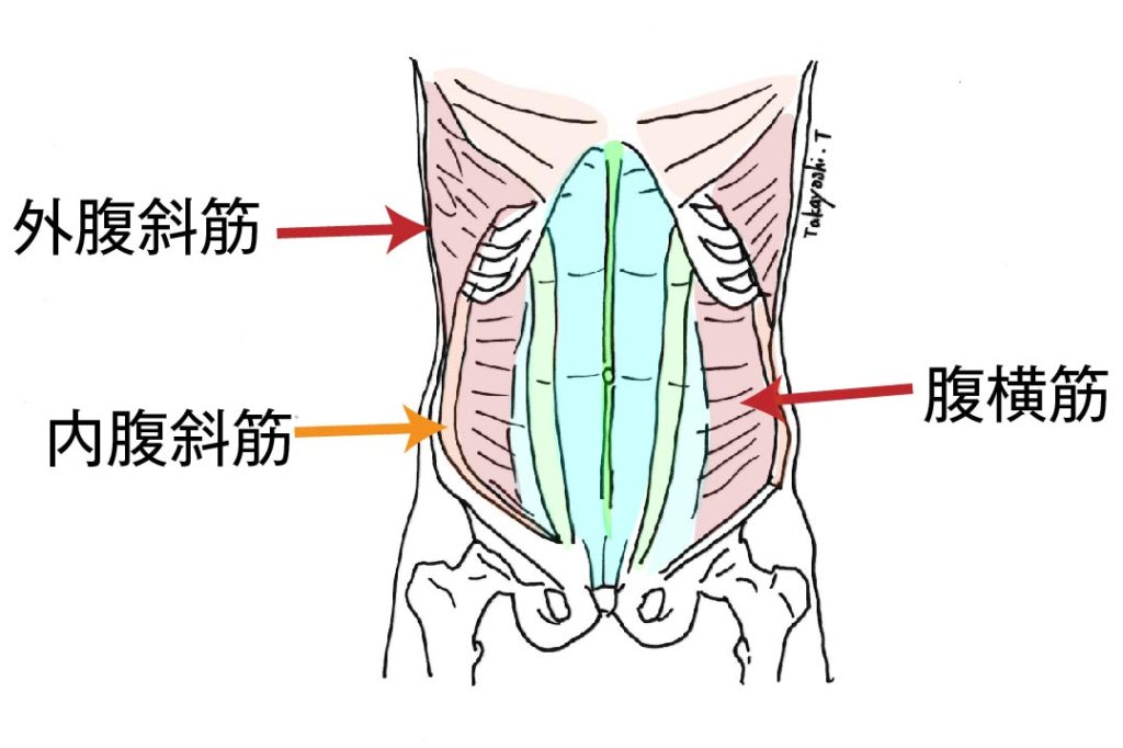 腹部の筋肉群図