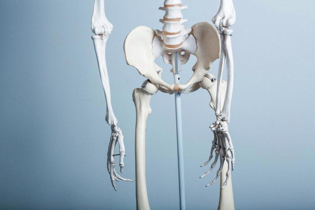 骨盤帯の骨格図