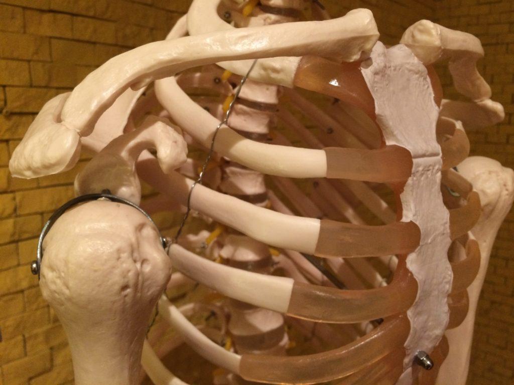 肋骨まわりの骨