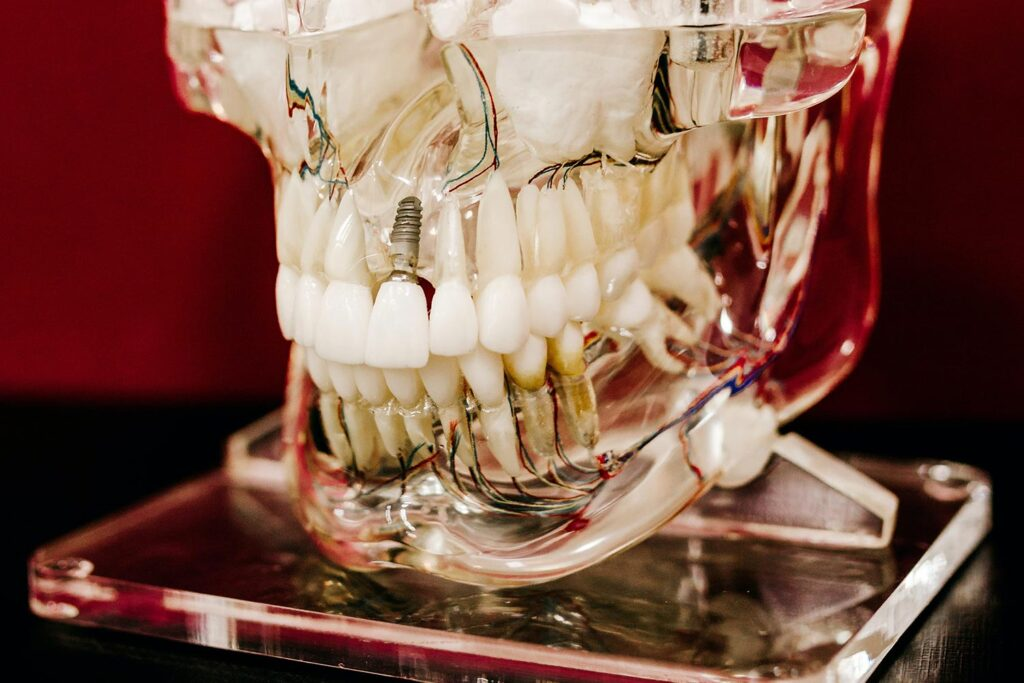 歯の骨格モデル